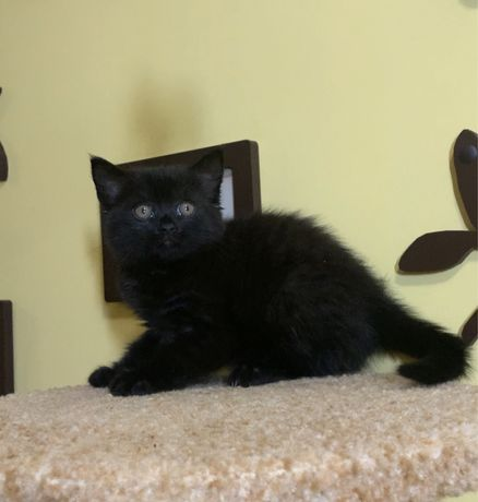 Черная шотландская девочка котенок, котята на подарок