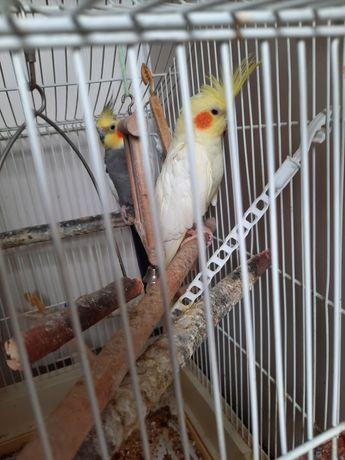 Papuga Nimfa Parka