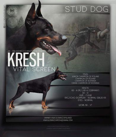Doberman reproduktor KRESH Vital Screen - ZKWP/FCI