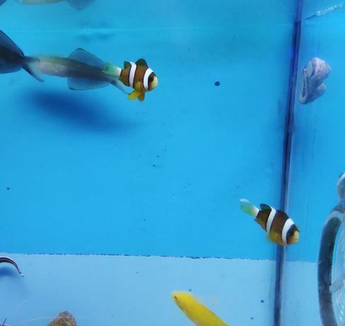 Amphiprion clarki akwarium morskie