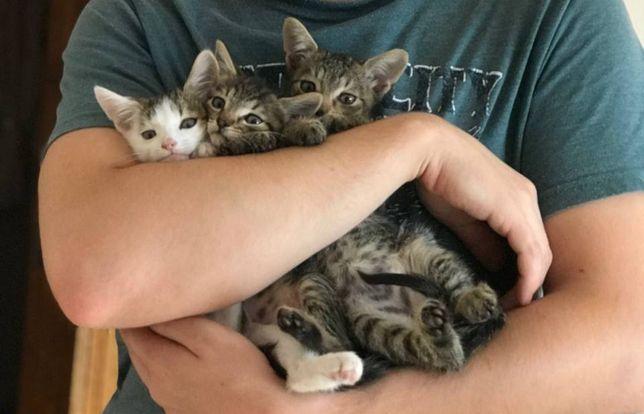 Віддам кошенят, привчені до лотка, хлопчики