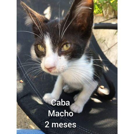 Caba- gatinho bebe para adoção