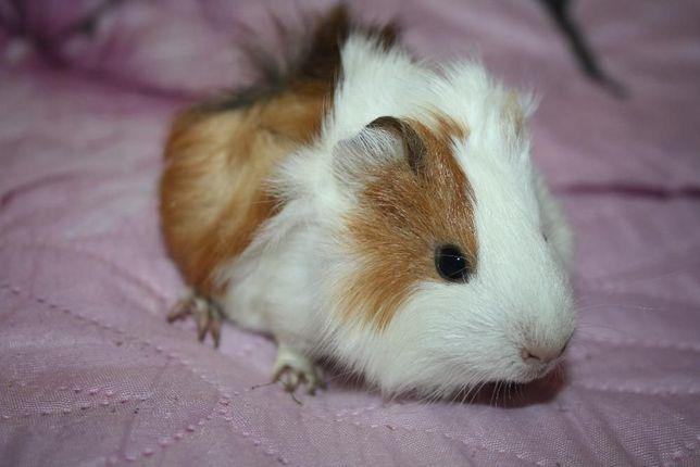 Милые заморские свинки в продаже