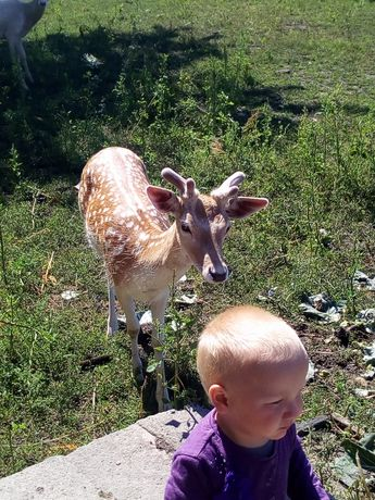 Daniele lanie cielne 3-4 lata ,gotowe do krycia dwu letnie oraz byki