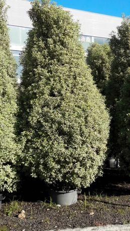 Pittosporum tenuifolium Variegata