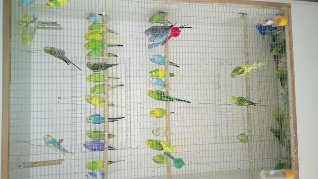 Продам молодёжь волнистых попугаев в подарок для детей и друзей.