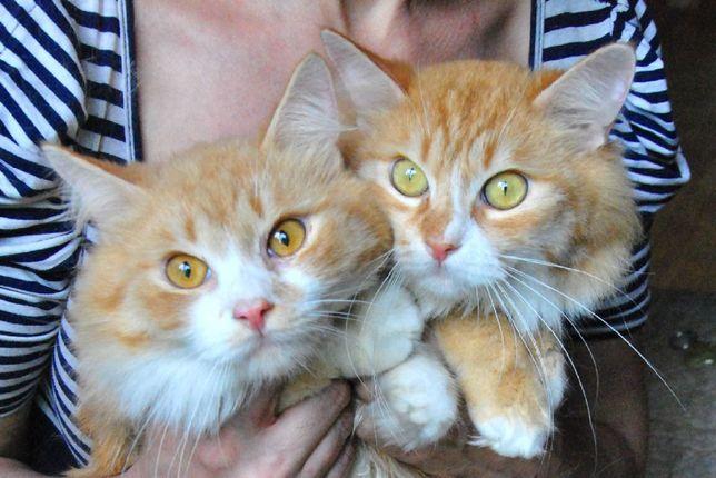 Отдам кота, рыжий мальчик и ррыжий мальчик, кастрировны