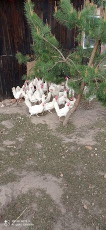 Kury niosące jajeczka