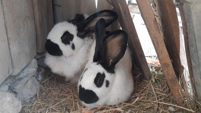 Królik, króliki, srokacz, srokacze, 2 samice 2020