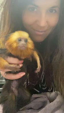 Игрунка мармазетка - ручная игрунка , карликовая обезьянка