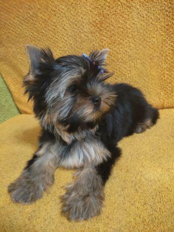 Продаётся щенок породы йоркширский терьер девочка
