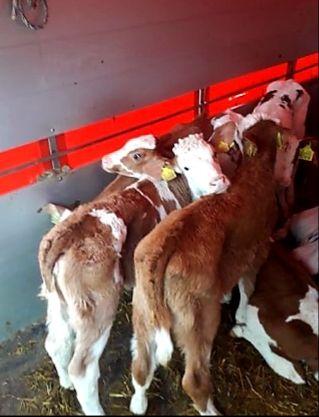byczki mięsne hodowlane
