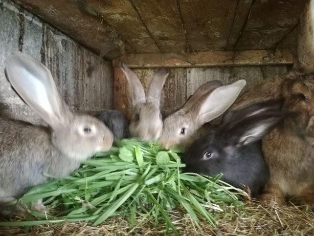 królki młode po belgu