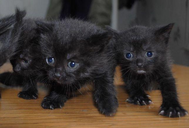 Крошечные черные котята в добрые руки