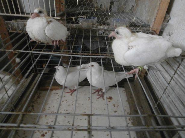 gołębie ozdobne białe pocztowe 7 szt