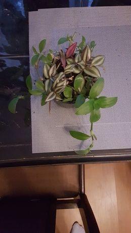 Trzykrotka 2 gatunki zielona i pasiasta fioletowa