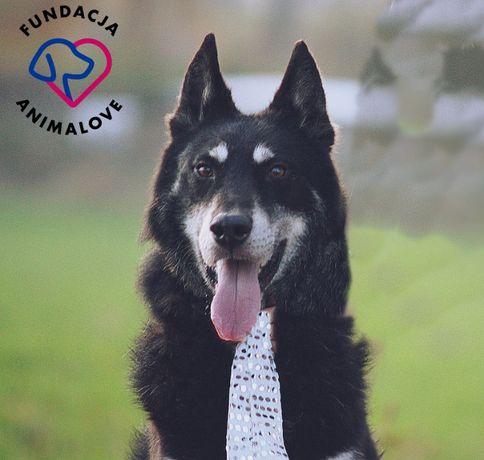 Pies w typie malamute/husky szuka domu