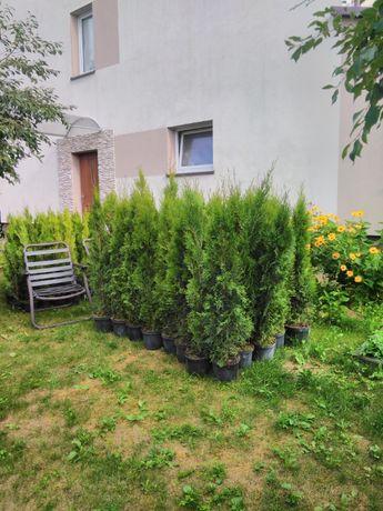Tuja Szmaragd 150 - 170 cm w Donicy max przyjec Z PODLASIA DOWOZIMY