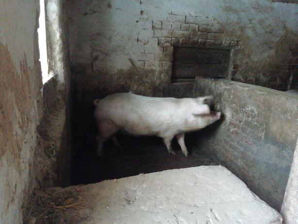 Продам свиню файну