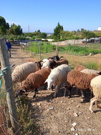 Vendo ovelhas a bom preço