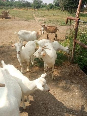 Kozy mleczne roczne