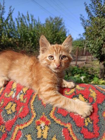 Отдам пушистого рыжего котёнка) котёнок котята