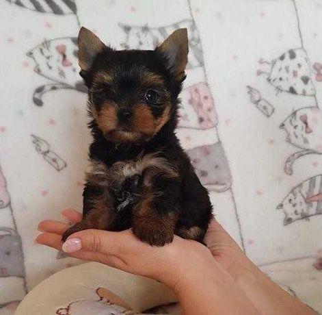Yorki z Rodowodem, Mini-Pieski