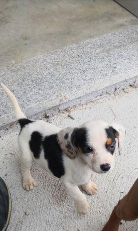 Cadela Travessa de Beagle bebé