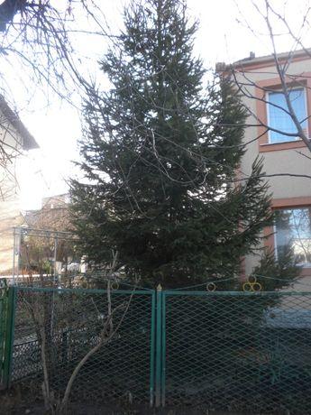 Ялинка ЖИВА-5-6 м