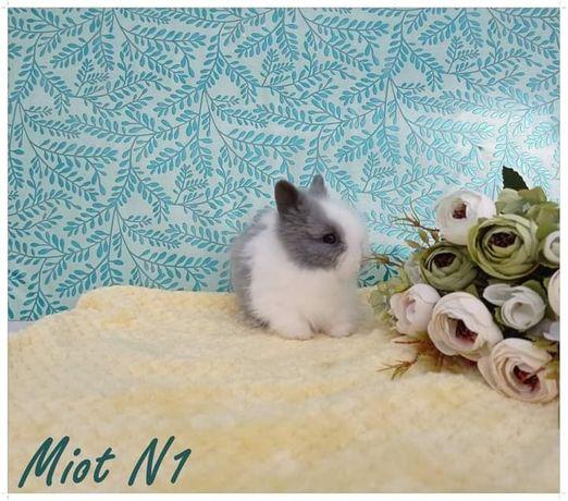 My little Bunny- Króliki , Króliczki , Karzełki Teddy Mini Lop
