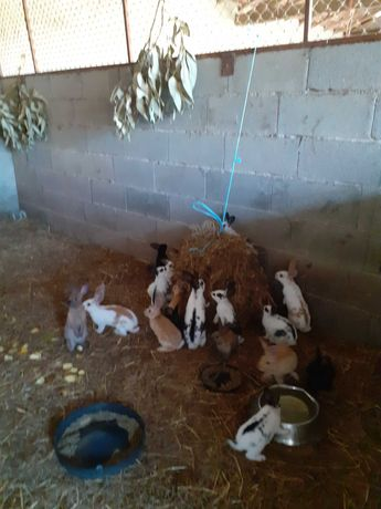 Vendo coelhos para criar ou para consumo raca flandres