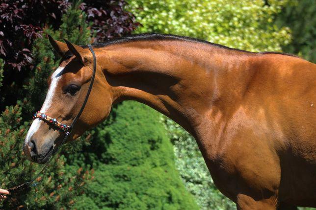 Wysoka  3,5 l klacz czystej krwi arabskiej  arabska koń arabski wałach
