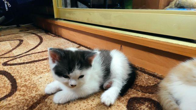 Подарю британских котят