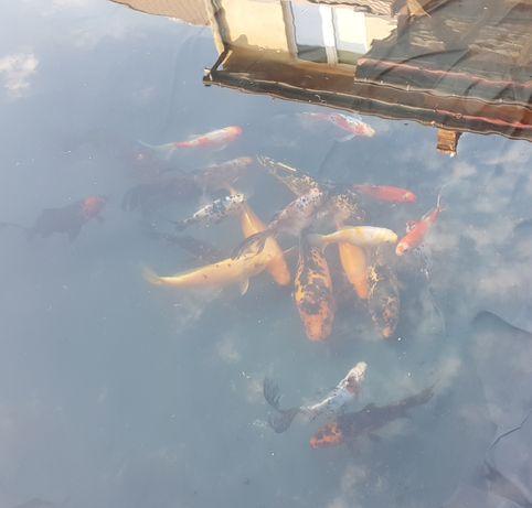 Sprzedam 20 ryb ozdobnych karpie koi 20-38cm
