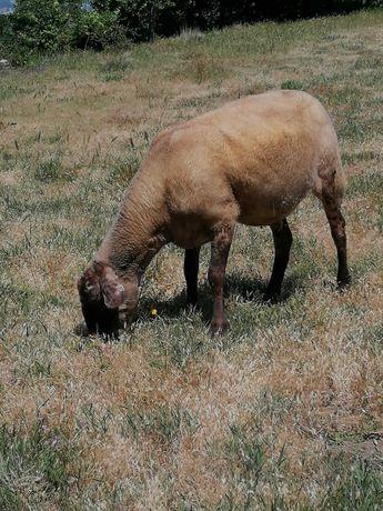 Ovelha traçada de Sulfok