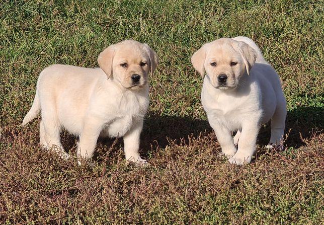 Идеальные щенки лабрадора для всей семьи