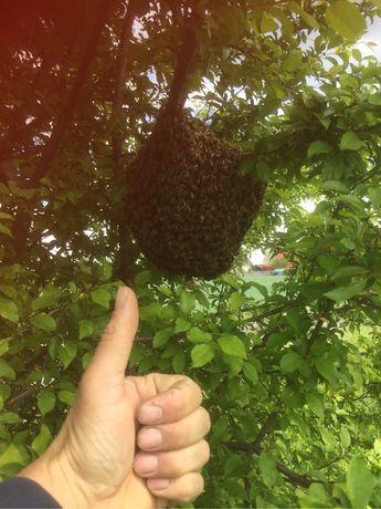 Rój pszczół, pszczoły, pogotowie pszczelarskie, pszczoły.