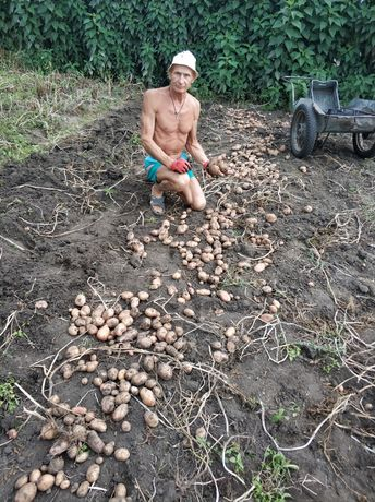 Продам свою домашнюю вкусную картошку