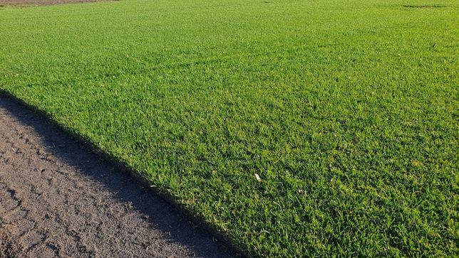 Trawa z rolki, trawa w rolce, trawa rolowana