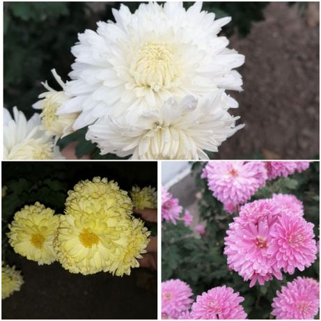Черенки Хризантема белая розовая жёлтая