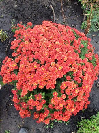 Хризантемы ( шаровидные, и обычные раннего срока цветения)