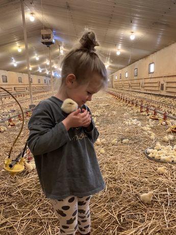 PROMOCJA brojler 7 zł /szt.  Kurczak kura mięso drób