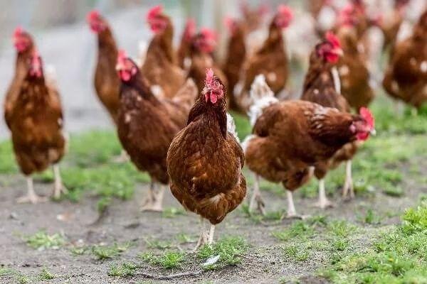 Продам кури несучки гусенята каченята курчата індичата