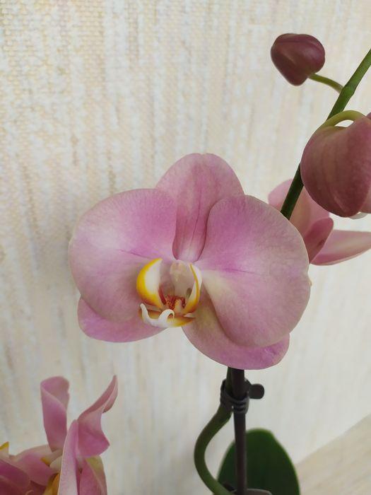 Орхидея Фаленопсис Сумы - изображение 1