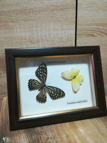 Бабочки в рамке.