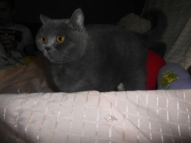 Brytyjczyki -śliczne kociaki