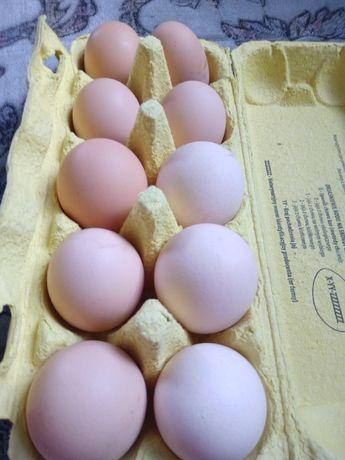 Jajka wiejskie swierze