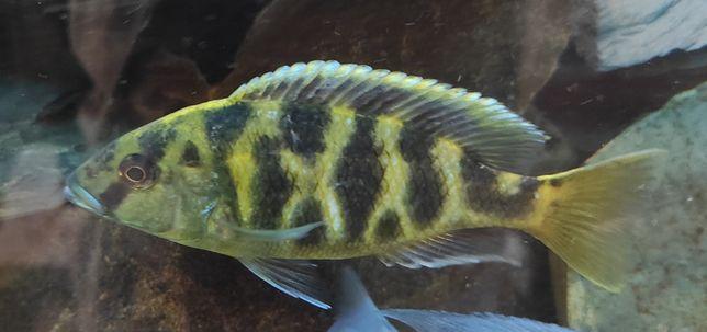 pyszczak wspanialy Nimbochromis venustus
