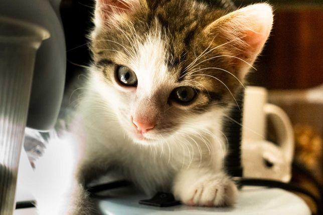 Віддам домашнє кошеня-хлопчика півтора місяці в добрі руки.
