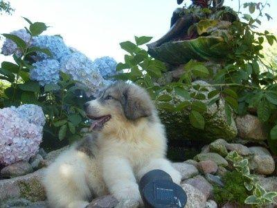 Berneński pies pasterski, pirenejski pies górski OKAZJA !!!